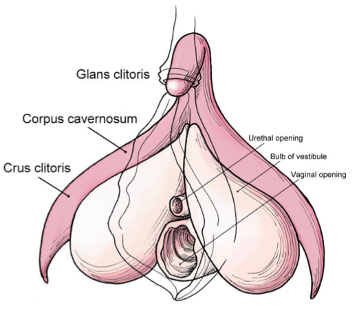 Female anatomy clitoral stimulation