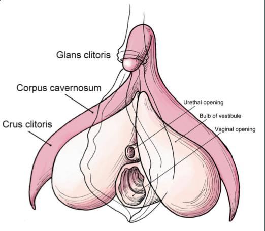 Female anatomy clitoral stimulation